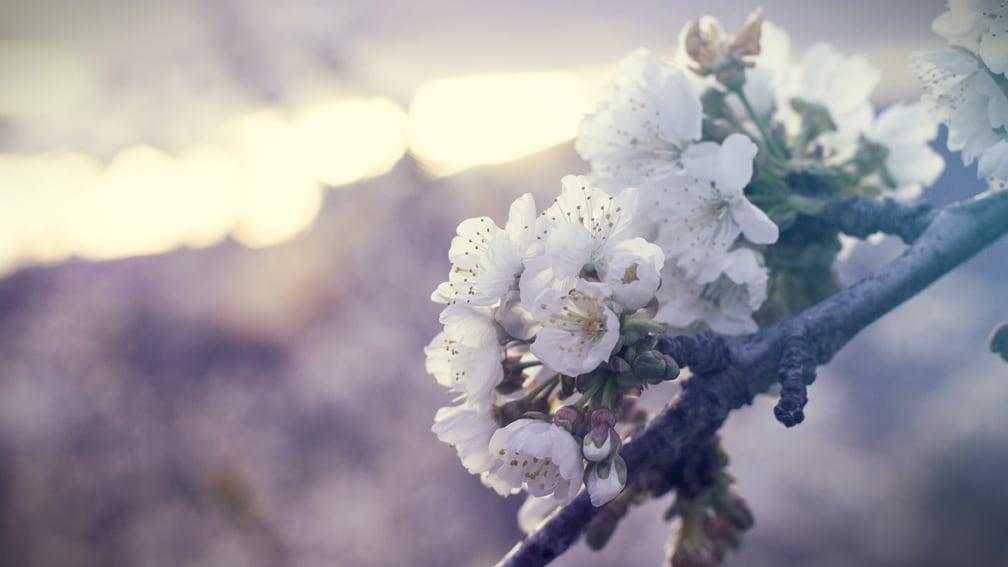 caceres-jerte-fiesta-del-cerezo-en-flor